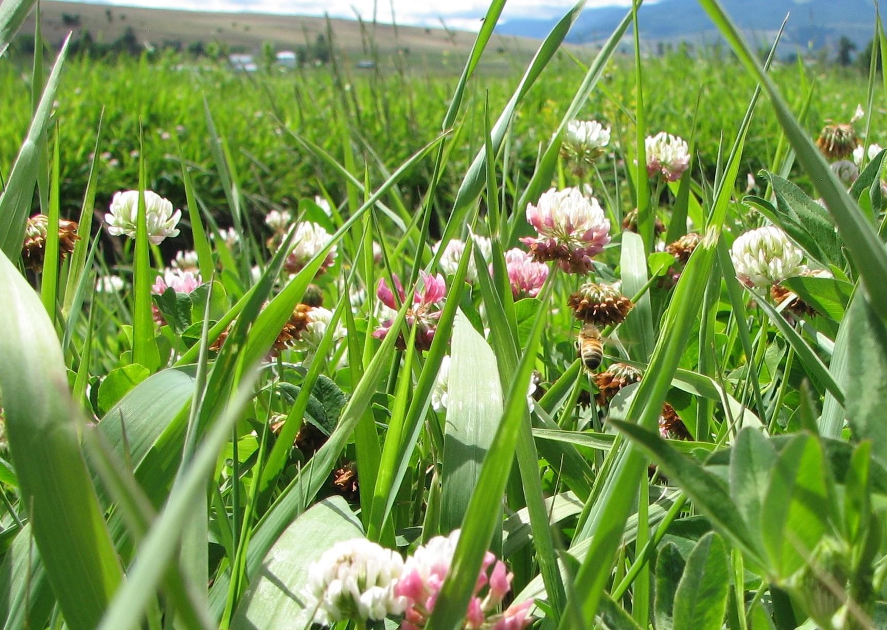 IMG_0095 2M GRASS CLOVER